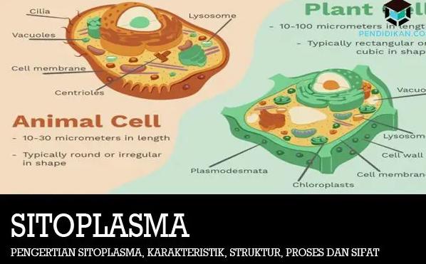 Sitoplasma : Pengertian, Fungsi, Struktur dan Bagiannya